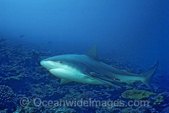 Bull Shark (Carcharhinus leucas). Also known as River Whaler, Freshwater Whaler and Swan River Whaler. Great Barrier Reef, Queensland, Australia. Found worldwide in tropical and warm temperate seas and penetrates far into freshwater for extended periods.