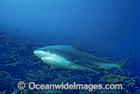 Bull Shark Carcharhinus leucas photo