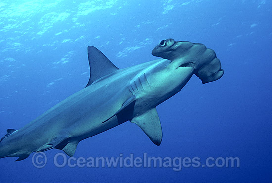 Scalloped Hammerhead Shark (Sphyrna lewini). Indo-Pacific. Found in tropical and warm temperate seas. Photo - Bob Halstead
