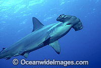 Scalloped Hammerhead Shark Photo - Bob Halstead