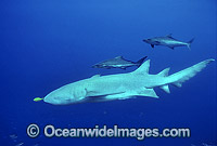 Tawny Shark Nebrius ferrugineus Photo - Bob Halstead