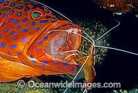 Cleaner Shrimp cleans Coral Grouper photo