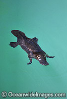 Duck-billed Platypus in rainforest stream