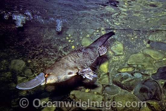 the description of the australian platypus in the rainforest So seemingly incongruous was the appearance of platypus specimens shipped to england at the end of the 18th century, that many obs.