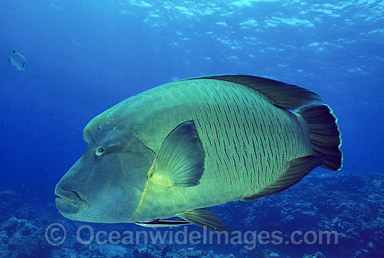 Napolean Wrasse (Cheilinus undulatus). Also known as Humphead Maori Wrasse, Giant Wrasse, Double-headed Maori Wrasse and Giant Maori Wrasse. Great Barrier Reef, Queensland, Australia. Classified Endangered IUCN Red List. Photo - Gary Bell