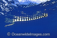 Banded Sea Snake Laticauda colubrina Photo - Gary Bell