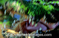 Estuarine Crocodile jaws