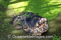 Estuarine Crocodile head Photo - Gary Bell