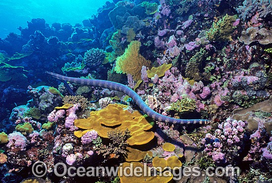 Turtlehead Sea Snake (Emydocephalus annulatus) searching for prey. Indo-Pacific