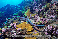Turtlehead Sea Snake Emydocephalus annulatus Photo - Gary Bell