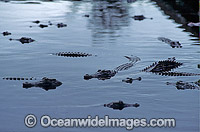 Estuarine Crocodiles Photo - Gary Bell