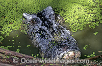 Estuarine Crocodile in duck weed Photo - Gary Bell