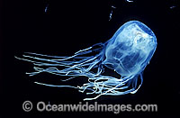 Box Jellyfish feeding mode Photo - Gary Bell