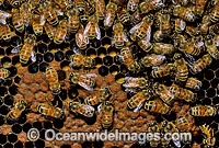 Worker Bees storing pollen in honeycomb Photo - Gary Bell