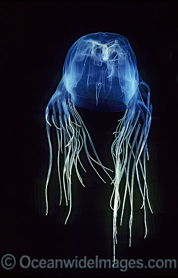 Box Jellyfish Chironex fleckeri photo