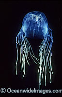 Box Jellyfish Chironex fleckeri