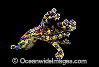 Blue-ringed Octopus image
