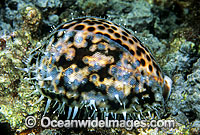 Tiger Cowry Cypraea tigris photo