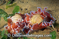 Bubble Snails Hydatina physis photo