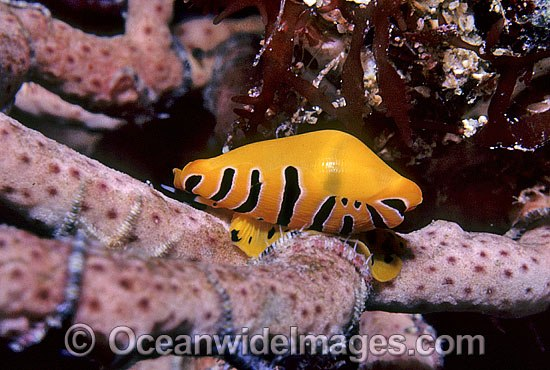 Ovulid Cowry (Crenavolva tigris) on Gorgonian Coral. New South Wales, Australia