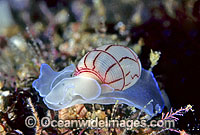 Sea Snail Bullina lineata Photo - Gary Bell