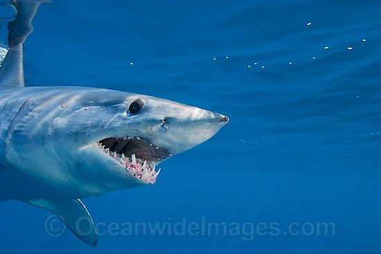 how to prepare mako shark