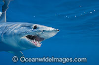 Shortfin Mako Shark Mackeral Shark Photo - Chris & Monique Fallows