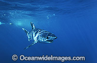 Shortfin Mako Shark Blue Pointer