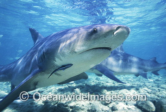 Bull Shark (Carcharhinus leucas). Also known as River Whaler, Freshwater Whaler and Swan River Whaler. South Africa. Found worldwide in tropical and warm temperate seas and penetrates far into freshwater for extended periods. Photo - Chris & Monique Fallows