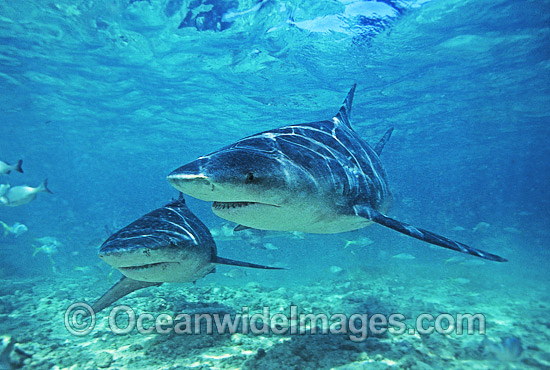 Bull Shark (Carcharhinus leucas). Also known as River Whaler, Freshwater Whaler and Swan River Whaler. South Africa. Found worldwide in tropical and warm temperate seas and penetrates far into freshwater for extended periods. Very Dangerous shark. Photo - Chris & Monique Fallows