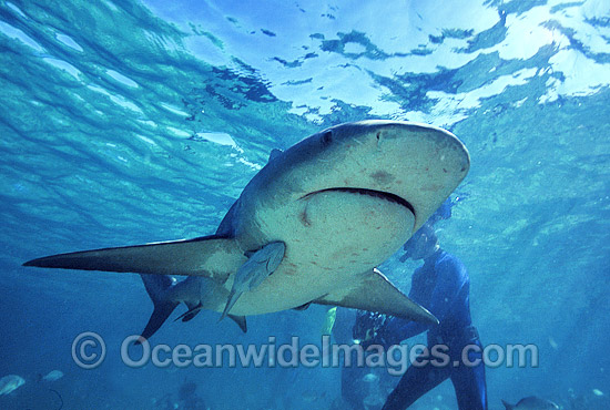 Bull Shark (Carcharhinus leucas). Also known as River Whaler, Freshwater Whaler and Swan River Whaler. South Africa. Found worldwide in tropical and warm temperate seas and penetrates far into freshwater for extended periods.