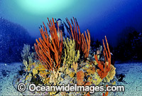 Scuba Diver in temperate Sponge Garden photo