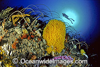 Scuba Diver and Whip Corals Sponges photo