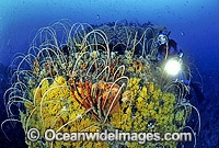 Scuba Diver and Whip Corals photo