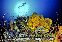 Scuba Diver Whip Corals Sponges photo