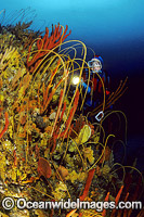 Scuba Diver in temperate deep water reef Photo - Gary Bell
