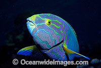 Sunset Wrasse Yellow moon Wrasse Photo - Gary Bell