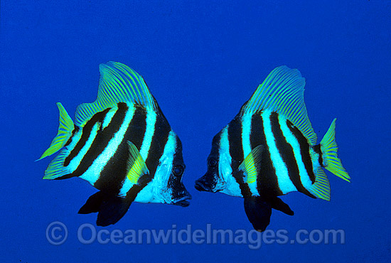 Japanese Boarfish (Evistias acutirostris). Lord Howe Island, New South Wales, Australia