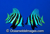 Japanese Boarfish Evistias acutirostris Photo - Gary Bell