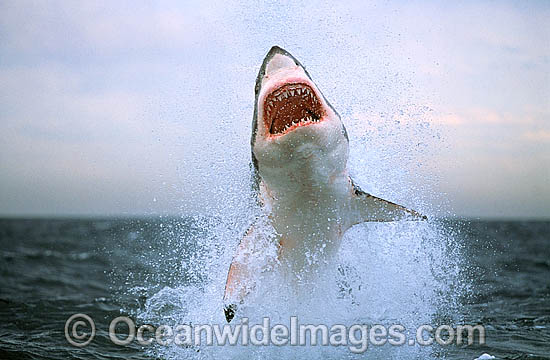 Great White Shark breaching on Seal
