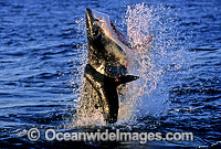 Great White Shark breaching on Seal image