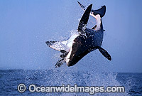Great White Shark breaching photo