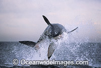 Great White Shark breaching on Seal photo