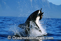 Great White Shark breaching Cape Fur Seal Photo - Chris & Monique Fallows