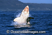 Great White Shark breaching on Cape Fur Seal photo