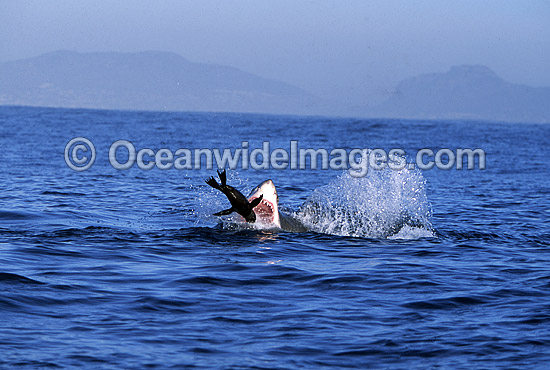 Great White Shark (Carcharodon carcharias) breaching on surface whilst attacking Cape Fur Seal (Arctocephalus pusillus pusillus). False Bay, South Africa. Protected species. Photo - Chris & Monique Fallows