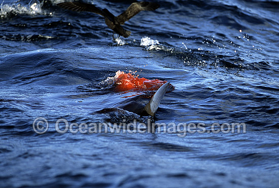 Great White Shark (Carcharodon carcharias) attacking Cape Fur Seal (Arctocephalus pusillus pusillus). False Bay, South Africa. Protected species.
