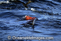 Great White Shark attacking Cape Fur Seal photo