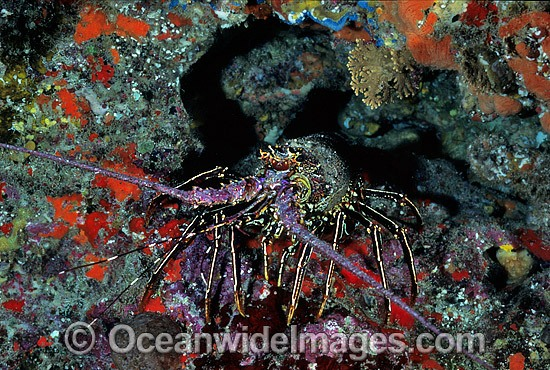 Spiny Lobster (Panulirus penicillatus). Also known as Coral Crayfish. Great Barrier Reef, Queensland, Australia Photo - Gary Bell