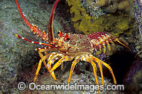 Red Spiny Lobster Photo - Gary Bell
